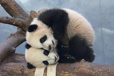 Adorable Mei Lun and Mei Huan, panda cub twins at the Atlanta Zoo. Cute Baby Animals, Animals And Pets, Funny Animals, Wild Animals, Save The Pandas, Baby Panda Bears, Baby Pandas, Red Pandas, Cute Panda