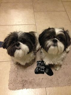 Shih Tzu father and son ... so cute!!!