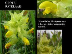 Grote Ratelaar - Rhinanthus angustifolius. - Foto gemaakt door pinterester Adri v.d.S - Bord  Wilde Gele bloemen - Yellow wildflowers