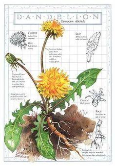 The humble Dandelion - lovely sketch [Dandelion, Taraxacum officinale, Asteraceae] by V/Λ\V/Λ