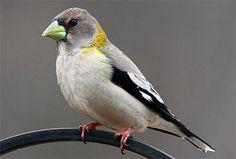 Evening Grosbeak, Identification, All About Birds - Cornell Lab of ...