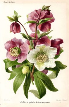 1883 Hellebore Purple White Antique Botanical Print French Garden Lithograph Vintage Flower Home Decor by AntiquePrintGallery on Etsy Floral Vintage, Vintage Botanical Prints, Botanical Drawings, Vintage Flowers, Vintage Flower Prints, Vintage Botanical Illustration, Flower Drawings, Art Floral, Botanical Flowers