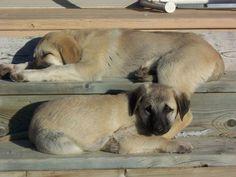 More Kangal puppies!