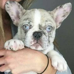 Frenchie baby