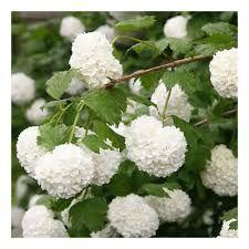 Garden Shrubs, Diy Garden, Flowering Shrubs, Garden Trees, Home And Garden, Snowball Plant, Snowball Viburnum, Viburnum Opulus Roseum, Rose Trees