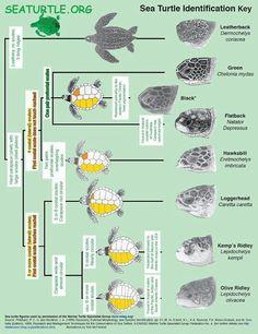 Turtle identification