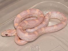 This little guy will be mine when i get my tax refund! Python Royal, Cute Reptiles, Reptiles And Amphibians, Kinds Of Snakes, All About Snakes, Snake Breeds, Reptile Room, Super Snake, Reptile Terrarium