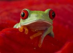 Cute red eyed tree frog by AngiWallace