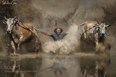 Popular on 500px : Pacu Jawi by shikhei