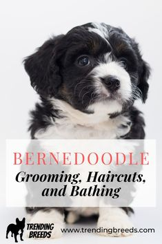 How often do you need to groom a Bernedoodle? What should you tell the groomer when you do? How often should you bathe them? What about Summer and Winter haircuts? We cover it all for you here!