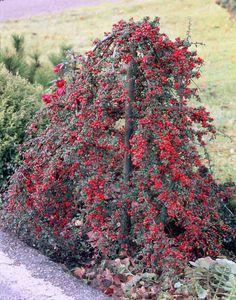 Family Rosaceae; Genus Cotoneaster; Species dammeri 'Coral Beauty'; Coral Beauty Cotoneaster