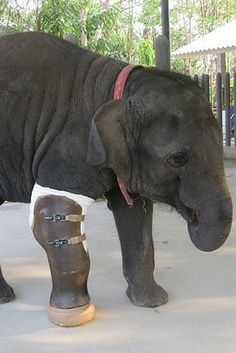 This is Mosha, an elephant who lost her leg in a land mine explosion. Her rescuers have given her a prosthetic leg, and she is now thriving. :)