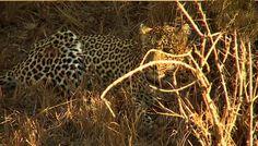 Karula eating a steenbok with Jamie and @odofad on #safarilive 7-28-15