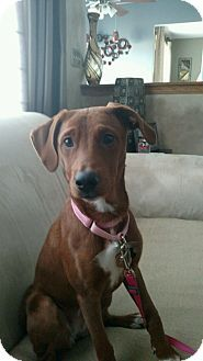 Romeoville, IL - Dachshund/Irish Setter Mix. Meet Maddie, a puppy for adoption. http://www.adoptapet.com/pet/14845786-romeoville-illinois-dachshund-mix