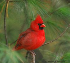 Millie Farmer, KY. Northern Cardinal | Celebrate Urban Birds Blog