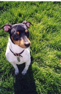 smooth haired fox terriers, rat terriers jack russel terriers