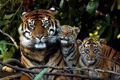 Sumatran Tiger, Mother and Cubs.