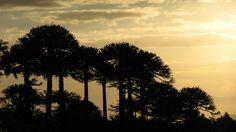 Se acerca el atardecer... Recordando vacaciones en el Parque Nacional Villarrica 2013 #araucarias #atardecer #parquenacionalvillarrica