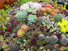 Mixed Cactus Hen and Chick's Succulents Sempervivum - 50 Seeds Echeveria, Plante Crassula, Sempervivum, Mason Jar Succulents, Succulents In Containers, Cacti And Succulents, Planting Succulents, Propagating Succulents, Growing Succulents