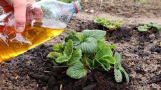 Výborná rada, ak pestujete jahody: Pár kvapiek tohoto zázraku a žiaden škodca ich na záhrade nenájde! Make It Yourself, Plants, Garden Ideas, Youtube, Flora, Plant, Landscaping Ideas, Backyard Ideas, Planting