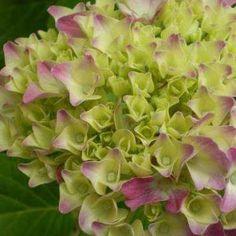 Como controlar y cambiar el color de las Hortensias Plants, Amazing, Gardens, Hydrangea Care, Blue Hydrangea, Growing Roses, Handmade Home Decor, Pot Plants, Growing Up