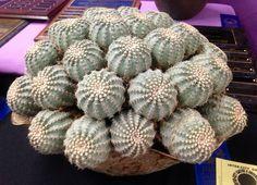 LA Inter-City Cactus and Succulent Show and Sale 2013 Echinocereus pulchellus