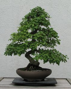 BONSAI  English hawthorn