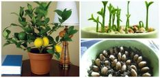 Cum trebuie plantat si ingrijit un lamai - pas cu pas Balcony Garden, Organic Gardening, Container Gardening, Pesto, Bonsai, Benefit, Vegetables, Healthy, Flowers