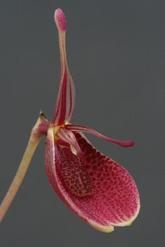 Restrepia - New species from Peru; by Lepanthes2010, via Flickr