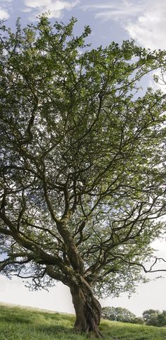 Fairy tree in Tara, Ireland
