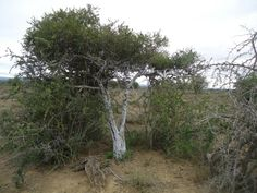 Witgatboom
