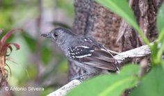 Sooretama Slaty Antshrike(Thamnophilus ambiguus)