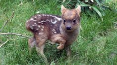 It's A Boy! World's Smallest, And Perhaps Cutest, Deer Species Born At New York Zoo - flipopular