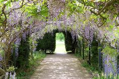Wisteria Arch at Hampton Court Gardens, Hereford.