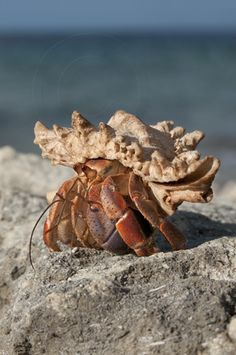 There are seven species of Hermit Crabs that inhabit tropical regions throughout the world and that live in discarded snail shells for their entire adult lives, changing to larger shells as they grow.