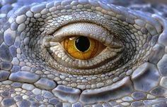Animal eyes quiz: Can you work out which creatures these are from their eyes? - Telegraph - Iguana
