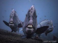 Underwater Photo Parrotfish in Indonesia