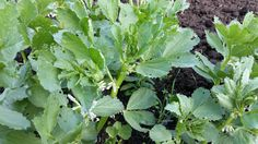 Broadbeans in flower, this why I love gardening. #allotment #gardeningislife