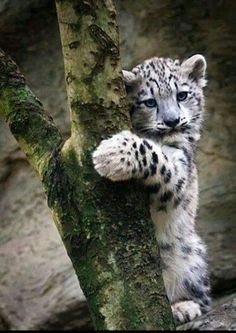 Snow leopard cub!