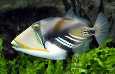 Rhinecanthus Assasi also known as Picasso Triggerfish and Arabian Picassofish