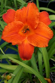 """'Mauna Loa'. Grows to 56cm (22"""") high, blooms are 13cm (5"""")."""