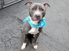 TO BE DESTROYED –  04/19/15  Manhattan Center – P My name is DUNE. My Animal ID # is A1032216. I am a male gray and white pit bull mix. The shelter thinks I am about 1 YEAR  I came in the shelter as a STRAY on 04/04/2015 from NY 10455, owner surrender reason stated was STRAY.