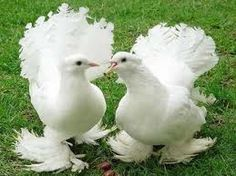 Fantail pigeon is a well known breed of fancy pigeons; its fan-shaped tail that usually has 30 to 40 feathers is what makes it so popular.    Learn more about Fantail Pigeon at http://trainingracingpigeons.net