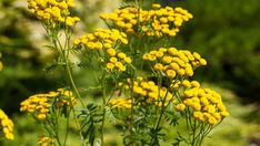 Prosty sposób na kleszcze. Tej rośliny unikają jak ognia - TopNiusy Container Plants, Flower Photos, Country Life, Herbalism, Health And Beauty, Flowers, Outdoor, House, Flower Template
