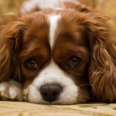adorable Blenheim Cavalier King Charles Spaniel