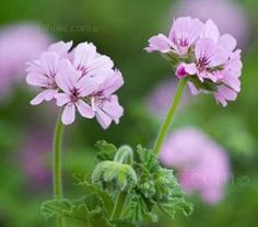 Pelargonium capitatum 'Attar of Roses' - Tender Plants - Hardiness Type - Flowers Seeds