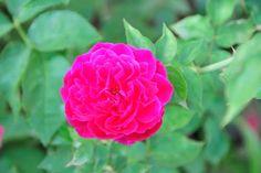 Flores Cubana, Rosa Criolla