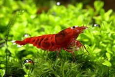 "Taiwan Bee ""Red Ruby extrême"" Crevettes (DNZ)"