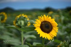Sunflower by amilcar1933 #nature #mothernature #travel #traveling #vacation #visiting #trip #holiday #tourism #tourist #photooftheday #amazing #picoftheday