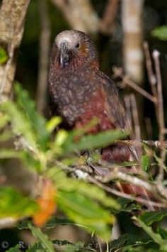 New Zealand Kaka Bird Wairarapa | Photo, Information